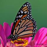 20100907 047 Monarch Butterfly SERIES.jpg