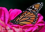20100907 010 Monarch Butterfly NX2-2 SERIES.jpg