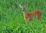 20100814 107 White-tailed Deer 2.jpg
