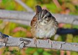 Sparrows, Juncos, Redpolls, Siskins
