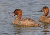 20100922 096 Redhead Ducks NX2 SERIES.jpg
