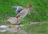 20100922 242 Redhead Ducks NX2 SERIES.jpg
