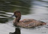 20100923 232  Redhead Duck NX2 SERIES.jpg