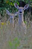 20100812 015 White-tailed Deer NX2 -2.jpg