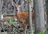 20100908 092 White-tailed Deer.jpg