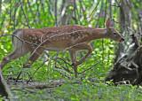 20100908 051, 057 White-tailed Deer SERIES.jpg