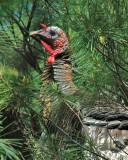 DSC_0051 Wild Turkey.jpg