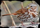 20101022 120 Fox Sparrow 1c SERIES.jpg
