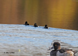 20101019 216 Ring-necked Ducks.jpg