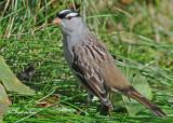20101003 135 White-crowned Sparrow.jpg