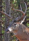 20101108 306 White-tailed Deer (Buck) SERIES.jpg