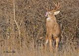 20101110 216 White-tailed Buck, 10 pointer SERIES.jpg