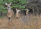 20101106 043 White-tailed Deer .jpg