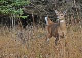 20101106 076 White-tailed Deer.jpg