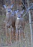 20101111 009 White-tailed Deer NX2 - 3.jpg