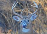 20101111 465 White-tailed Buck, 8 pointer SERIES.jpg