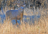 20101110 042 White-tailed Buck10 pointer NX2 - 1.jpg