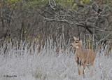 20101108 007 White-tailed Deer.jpg