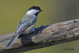 20101111 125 Black-capped Chickadee SERIES.jpg