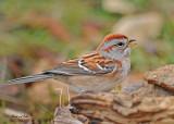 10101104 202 American Tree Sparrow NX2 - 2.jpg