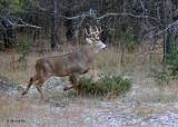 20101119 499 White-tailed Buck 10 pointer NX2 - 1.jpg