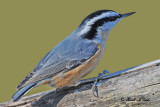 20101111 180 SERIES -  Red-breasted Nuthatch.jpg