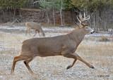20101119 504 White-tailed Buck, 10 pointer SERIES.jpg