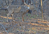 20101123 027  SERIES - White-tailed Buck,  smaller 10 pointer SERIES.jpg