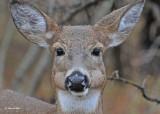 20101106 176 White-tailed Deer.jpg