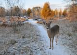 20101126 376 White-tailed Deer.jpg