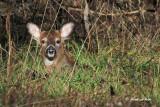 20101123 205 White-tailed Deer ( Fawn).jpg
