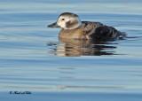 20101119 008 Long-tailed Duck (F) 1c SERIES.jpg