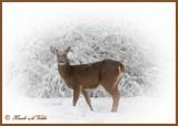 20100102 118 White-tailed Deer2.jpg