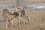 20101119 775 White-tailed Deer.jpg