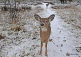 20101203 679 White-tailed Deer, OQTr SERIES.jpg