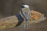 20101112 028 Chickadee, SERIES.jpg