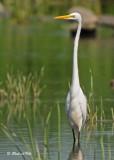 20100824 - 1 292 Great Egret.jpg