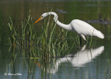 20100824 - 1 269 Great Egret.jpg