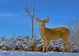 20101215 104 W-t Deer ( HP+unsharp mask-2blue+1red NX2-4)  SERIES.jpg