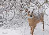 20101214 248 White-tailed Deer HP SERIES.jpg