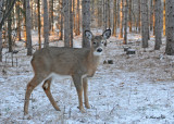 20101126 325 White-tailed Deer (Fawn).jpg