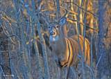20101111 003 White-tailed Buck 8 pointer.jpg