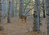 20101123 228 White-tailed Deer NX2 - 1.jpg