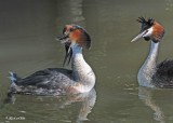 20100525 196 Great Crested Grebes - Fuut.jpg