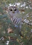 20101221 204 Barred Owl HP NX2.jpg