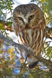 20110105 - 2 057, 364 SERIES,  Northern Saw-whet Owl3 HP.jpg