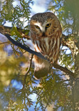 20110105 - 2 058,227 SERIES Northern Saw-whet Owl HP NX2 - 2.jpg