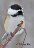 20110105 046 SERIES Black-capped Chickadee.jpg