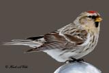 20101229 370 Common Redpoll.jpg