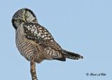 20110110 131 Northern Hawk Owl2 HP.jpg
